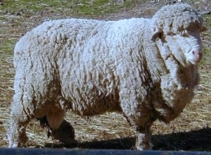 Cormo_sheep